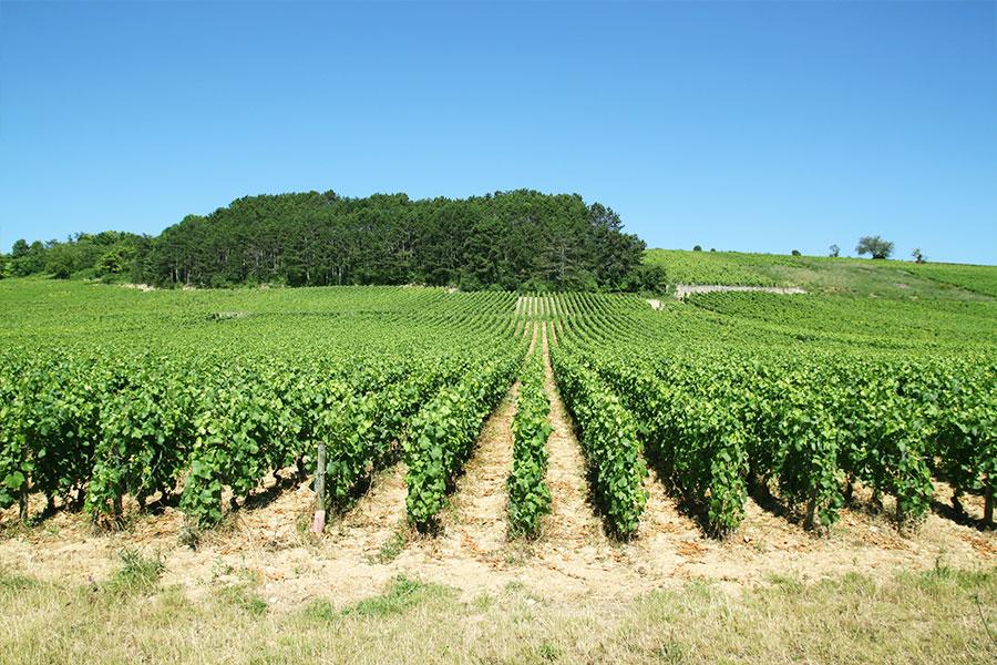 vignes-meursault
