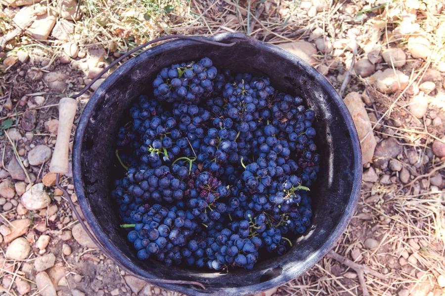 grappes de vin Costières