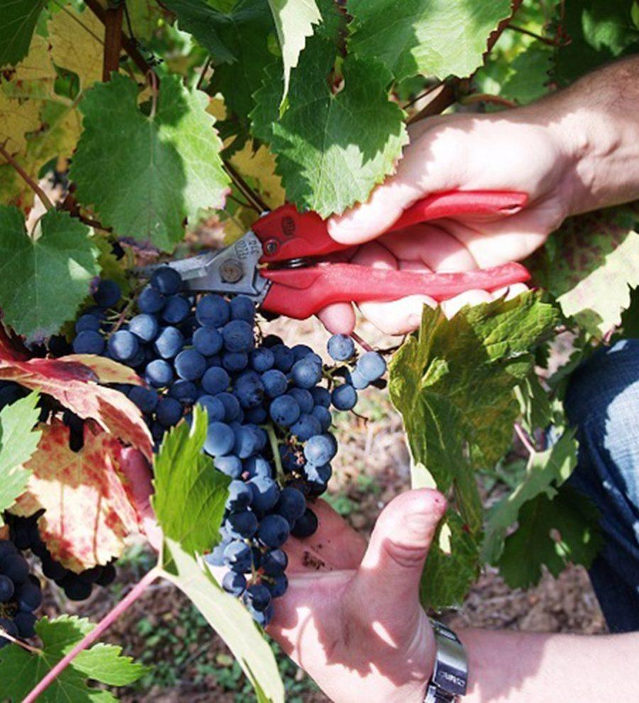 Adoptez des pieds de vignes ! Louez six pieds de vigne le temps de la production d'un millesime (un an et demi), entrez dans les coulisses du métier de vigneron et dégustez votre production. 299€ sur www.lesraffineurs.com